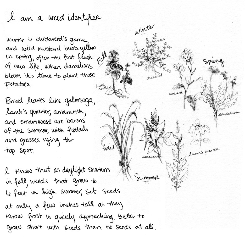 I am a weed identifier. Winter is chickweed's game, and wild mustard bursts in yellow in spring, often the first flush of new life. When dandelions bloom it's time to plant those potatoes. Broad leaves like galinsoga, lambs quarter, amaranth, and smartweed are barons of the summer, with foxtails and grasses vying for top spot. I know that as daylight shortens in fall, weeds that grow to 6 feet in high summer, set seeds at only a few inches tall as they know frost is quickly approaching. Better to grow short with seeds than no seeds at all.