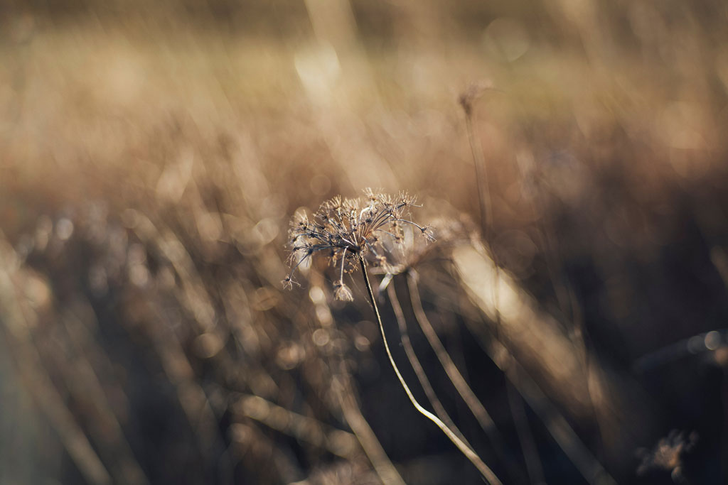 withered grey dandelion