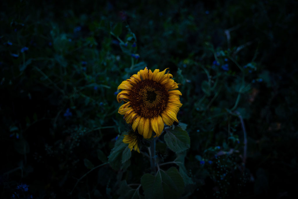 A sunflower at dusk in front of blue morning glory vines
