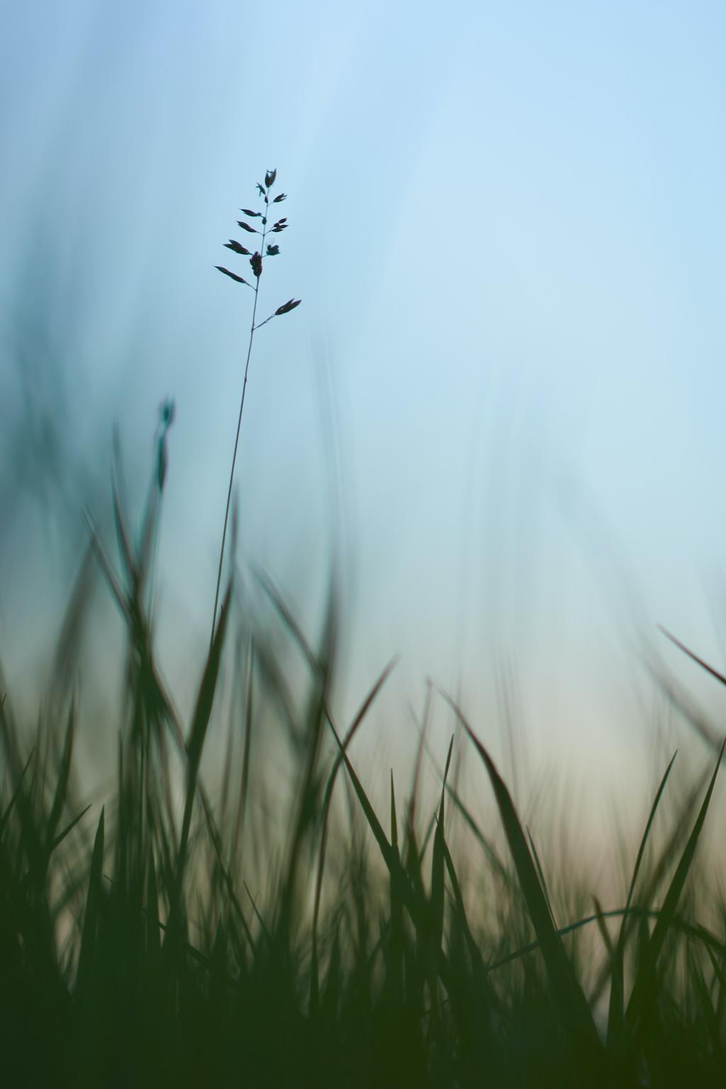 tall grass against a blue sky