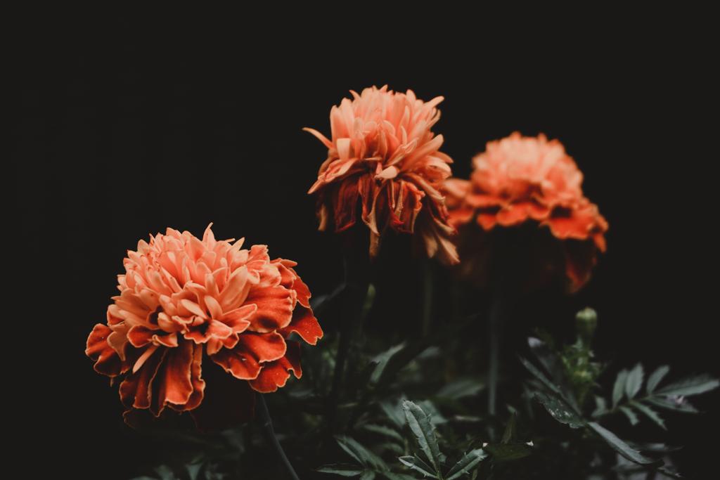 marigolds against dark background