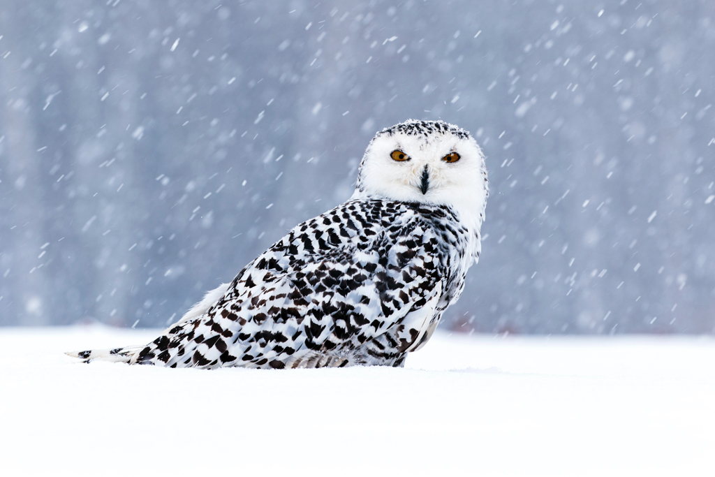 white owl in a snowstorm